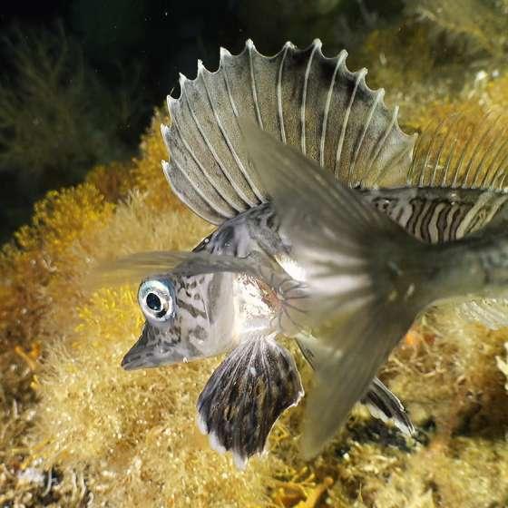 Crocodile icefish cruises the ocean bottom with the Boxfish ROV