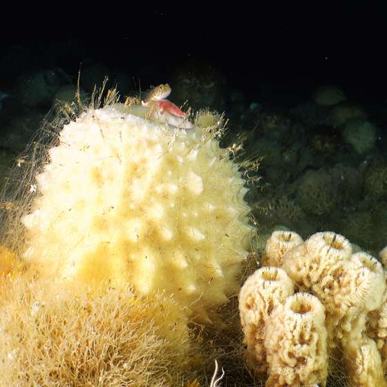 Fish on a sponge – Check out the minute detail with our Boxfish ROV!