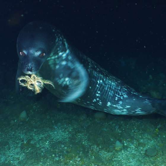 The Seal and the Feather taken by our Boxfish ROV