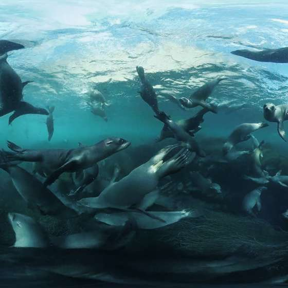 Swimming with a Raft of California Sea Lions taken by our Boxfish 360