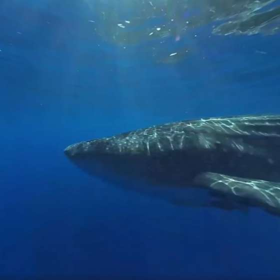 Beautiful Whale Shark – filmed on Boxfish 360 - epic!