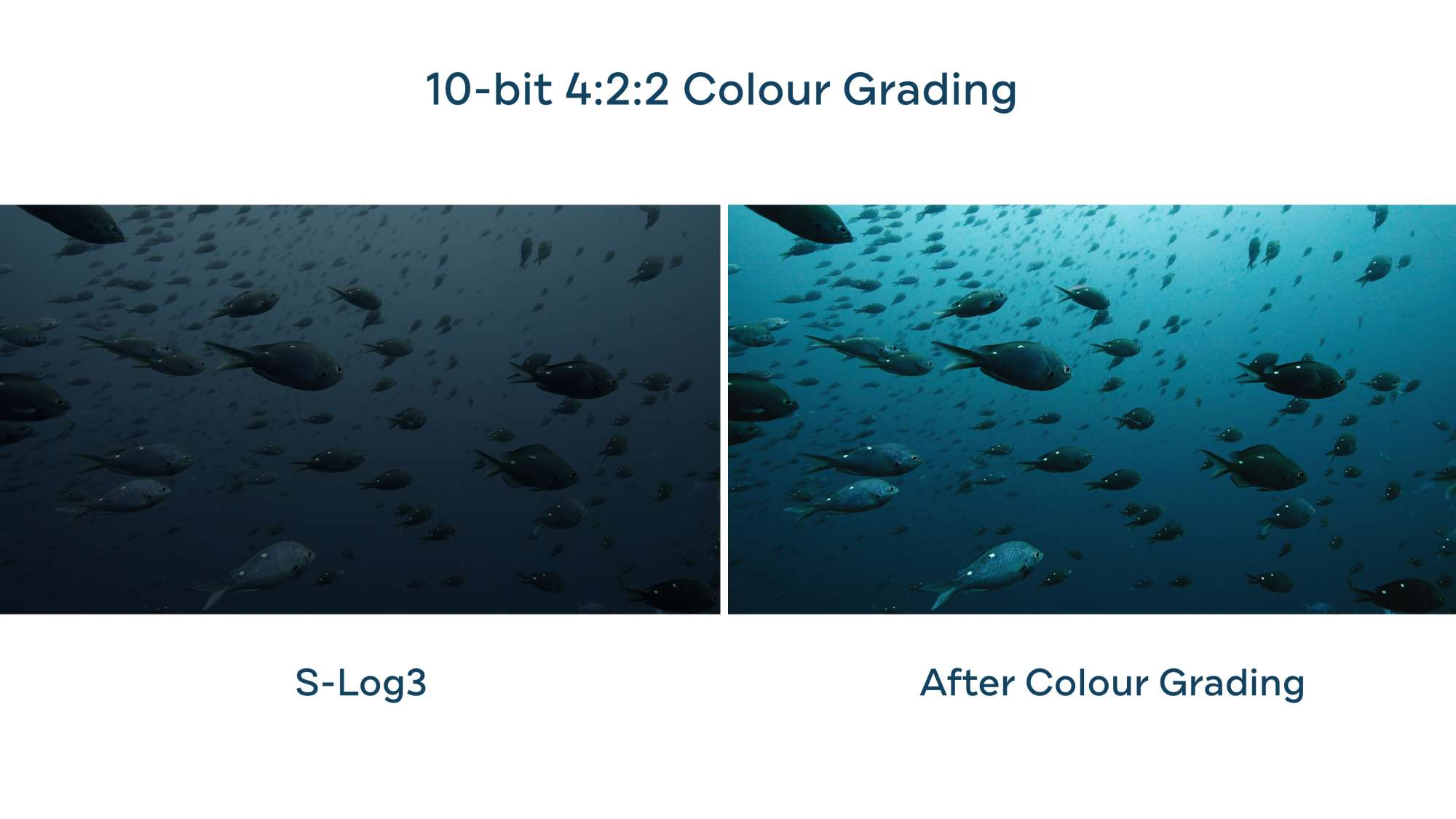 Underwater color grading Sony A7SIII Boxfish Luna Poor Knights marine reserve