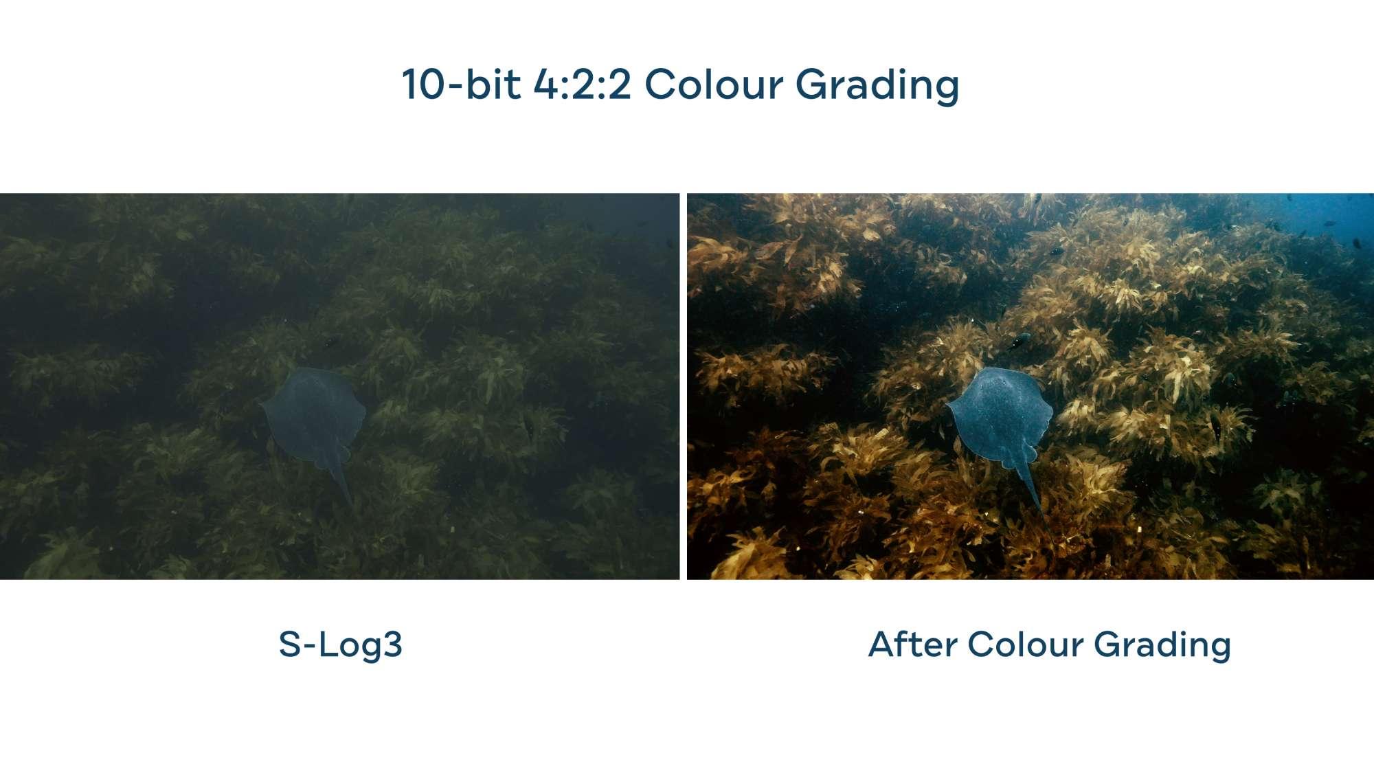 Underwater color grading Sony A7SIII Boxfish Luna stingray